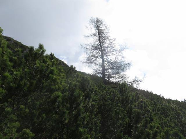 die vereinzelten Bäume (Lärchen) bleiben immer rechter Hand