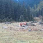 Haflinger auf dem Weg zur Jagdhütte