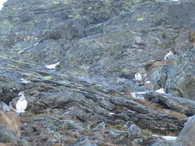 seltene Sichtung von Schneehühnern bereits im Winterkleid